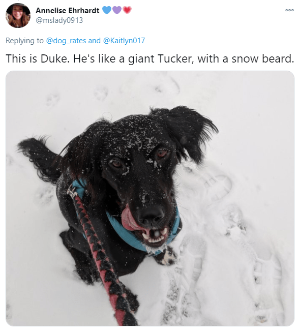 Dog breed - Annelise Ehrhardt 000 @mslady0913 Replying to @dog_rates and @Kaitlyn017 This is Duke. He's like a giant Tucker, with a snow beard.