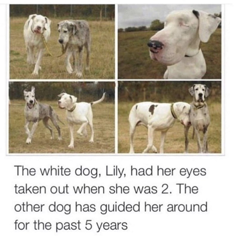 The white dog, Lily, had her eyes taken out when she was 2. The other dog has guided her around for the past 5 years | two cute dogs walking together