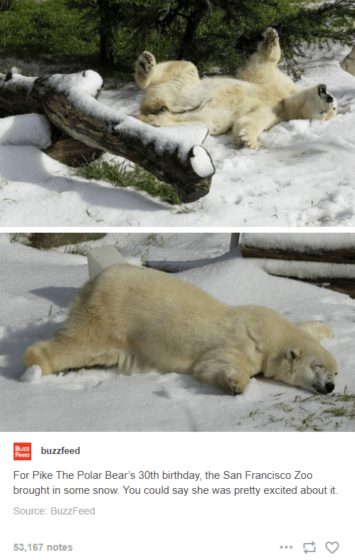 Nature - Buzz Feeo buzzfeed For Pike The Polar Bear's 30th birthday, the San Francisco Zoo brought in some snow. You could say she was pretty excited about it. Source: BuzzFeed 53,167 notes ...