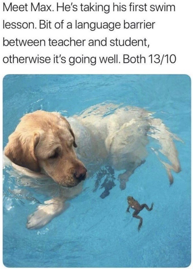 Meet Max. He's taking his first swim lesson. Bit of a language barrier between teacher and student, otherwise it's going well. Both 13/10 | cute dog swimming in water next to a tiny frog