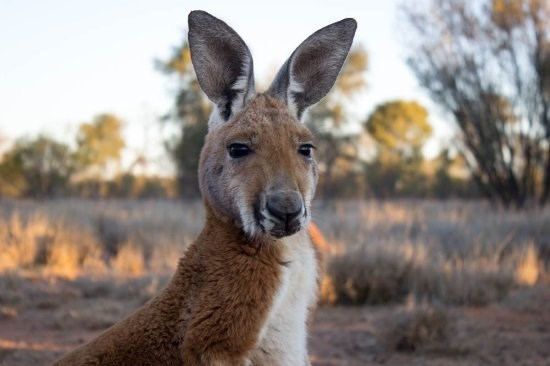 photo juvenile red kangaroo with large ears in the outback at sunset