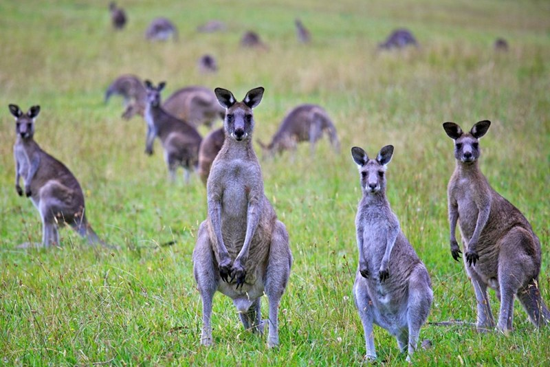 photo herd of kangaroos standing upright among green grass looking at camera