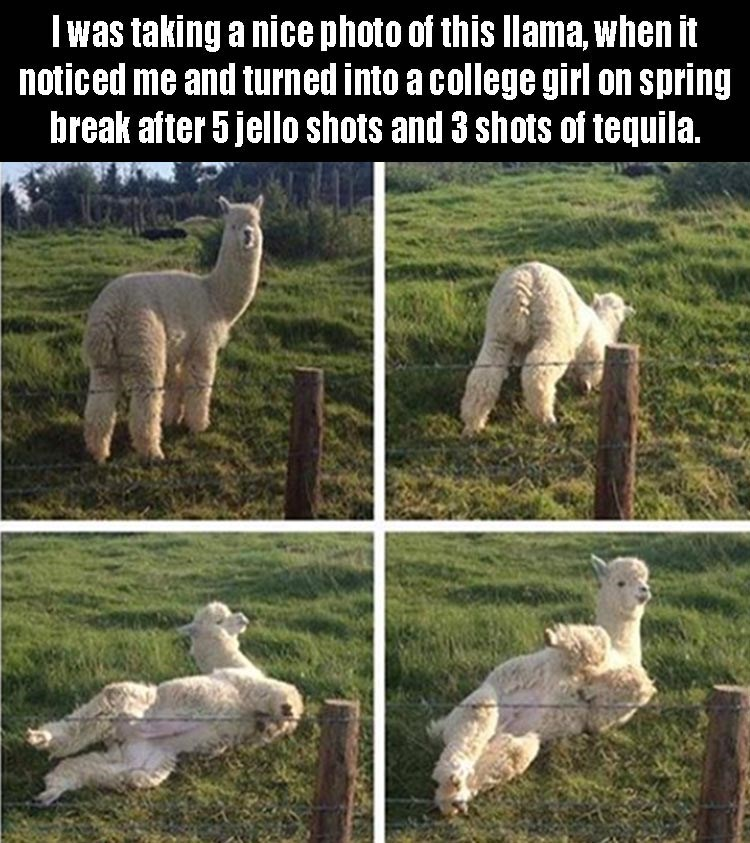 I was taking a nice photo oi this llama, when it noticed me and turned into a college girl on spring break after 5 jello shots and 3 shots of tequila.