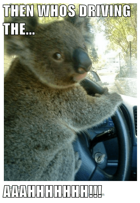 Then who's driving the aaahhh | koala hanging on to a steering wheel in a car driving