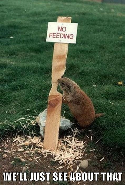 We'll just see about that | cute animal gopher groundhog rodent eating a sign that reads NO FEEDING