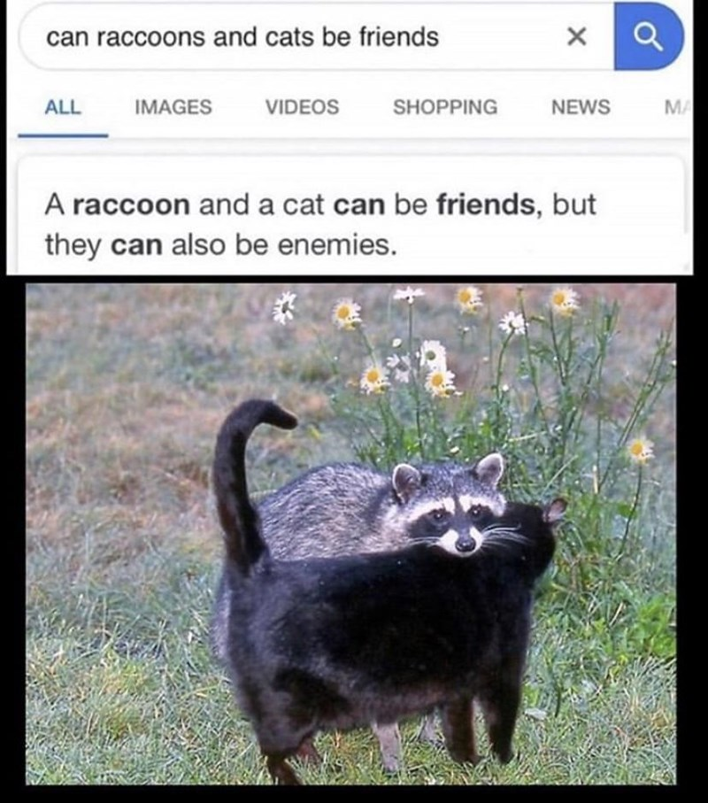 Organism - can raccoons and cats be friends ALL IMAGES VIDEOS SHOPPING NEWS MA A raccoon and a cat can be friends, but they can also be enemies.