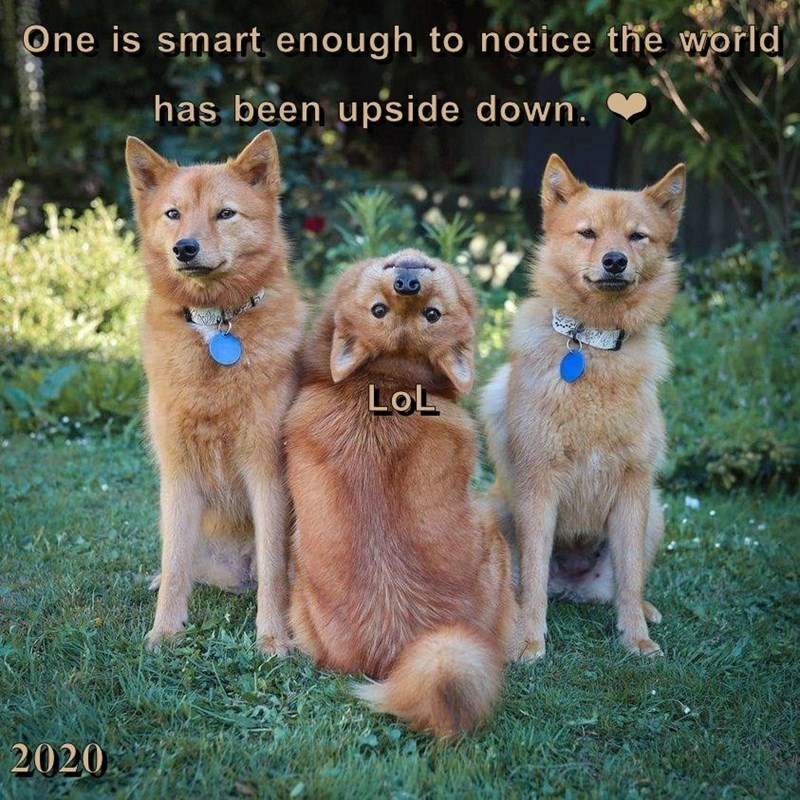 one is smart enough to notice the world has been upside down. | three cute dogs posing side by side with the one in the middle turning its head around