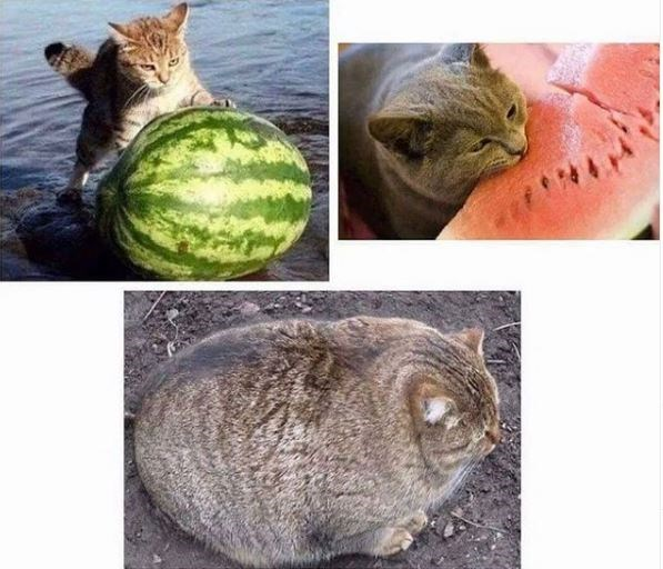 three pics that tell a story - a cat rolling a watermelon out of the water, a cat eating watermelon, and a large round cat looking as if it swallowed a watermelon