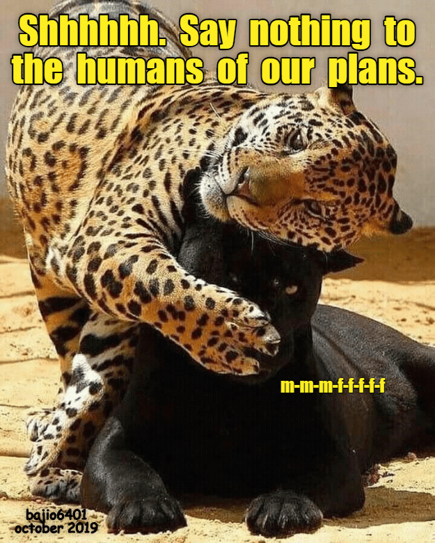 shhh say nothing to the humans of our plans | two big cats spotted jaguar covering the mouth of a black jaguar as if to muffle it