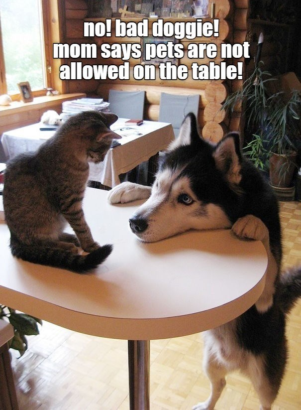 no! bad doggie! mom said pets are not allowed on the table | cat sitting on a table looking down at a dog