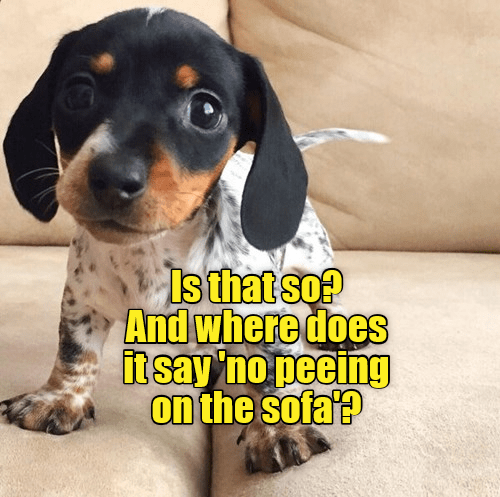 Is that so? And where does it say no peeing on the sofa | cute little puppy standing on a couch