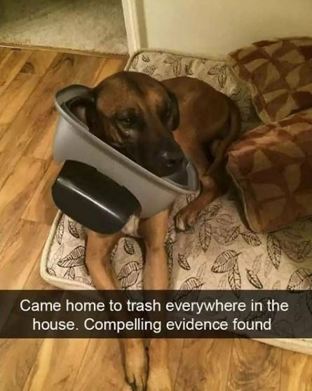 Dog breed - Came home to trash everywhere in the house. Compelling evidence und