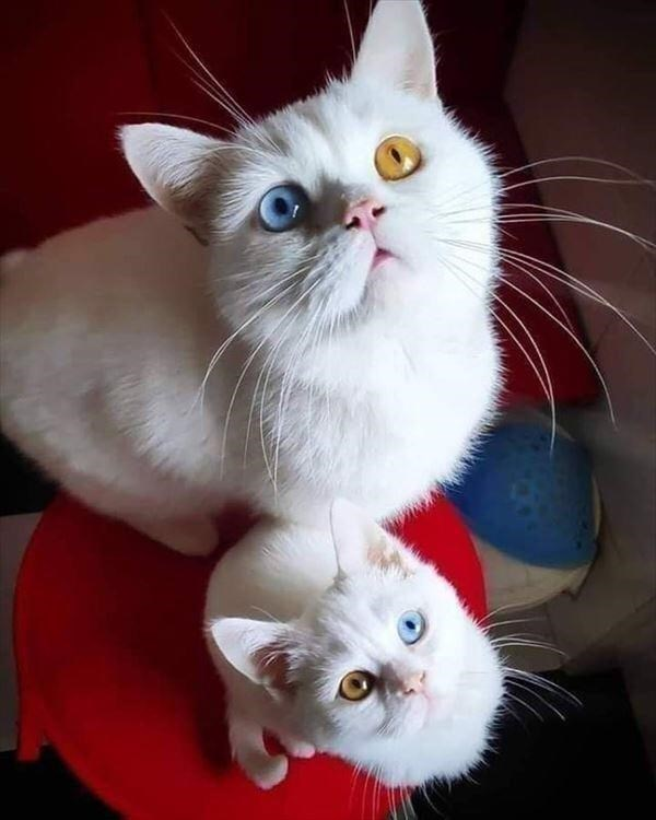 two beautiful white cats looking up both with identical heterochromia one blue eye and one yellow eye