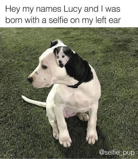 Hey my names Lucy and I was born with a selfie on my left ear | cute black and white dog with spots in the shape of a dog's face on its ear