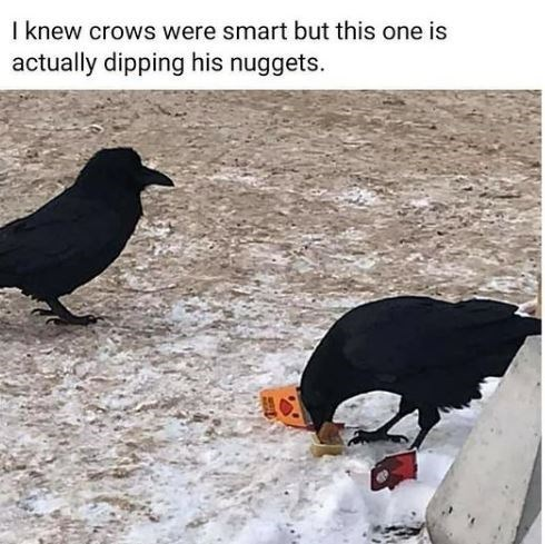 Organism - I knew crows were smart but this one is actually dipping his nuggets.