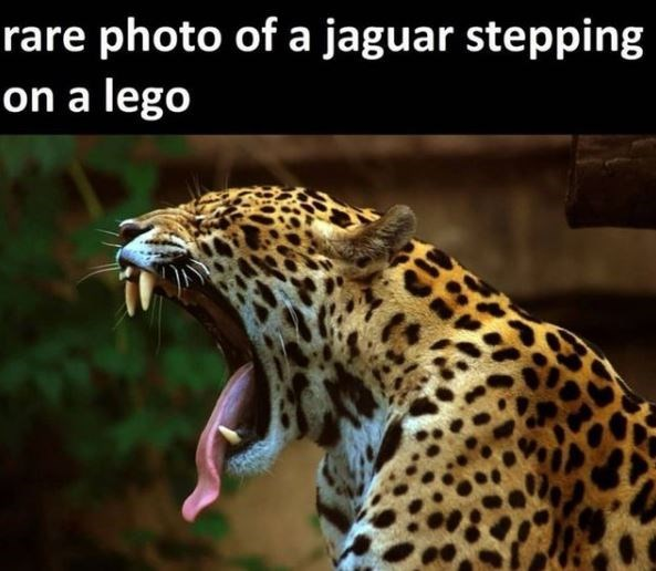 Organism - rare photo of a jaguar stepping on a lego