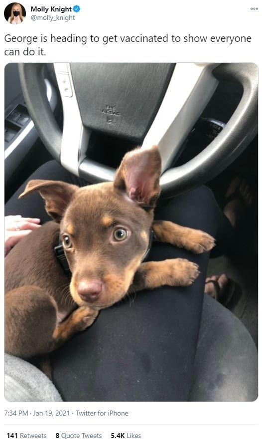 Dog breed - Molly Knight @molly_knight 000 George is heading to get vaccinated to show everyone can do it. 7:34 PM · Jan 19, 2021 · Twitter for iPhone 141 Retweets 8 Quote Tweets 5.4K Likes