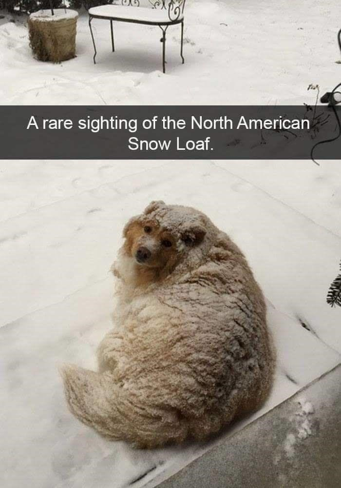 Winter - A rare sighting of the North American Snow Loaf.