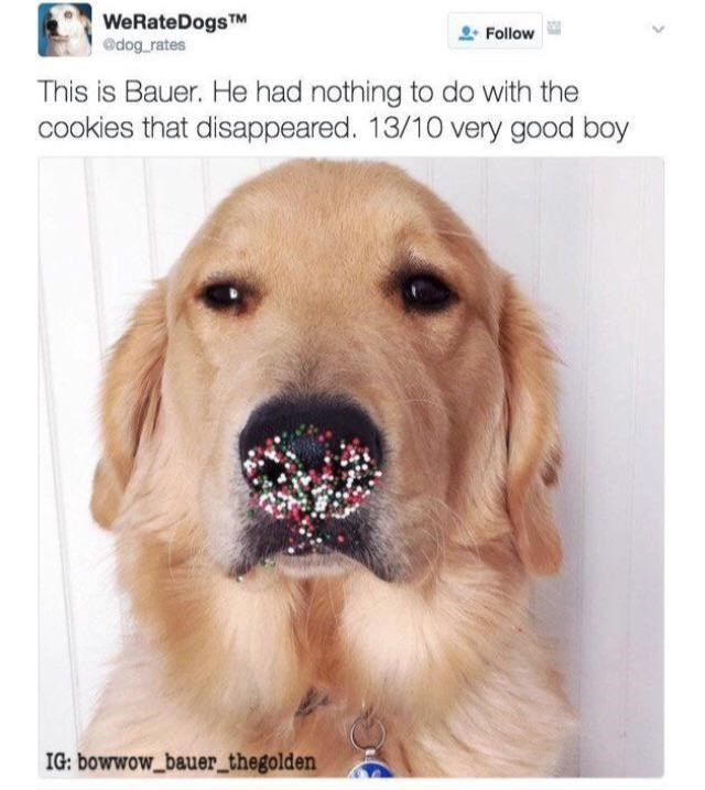 Brown - WeRateDogsTM @dog_rates Follow This is Bauer. He had nothing to do with the cookies that disappeared. 13/10 very good boy IG: bowwow_bauer_thegolden