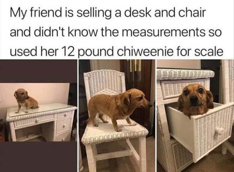 Dog breed - My friend is selling a desk and chair and didn't know the measurements so used her 12 pound chiweenie for scale 1006D00