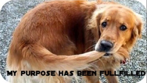 MY PURPOSE HAS BEEN FULFILLED | funny pic of a dog who caught his own tail