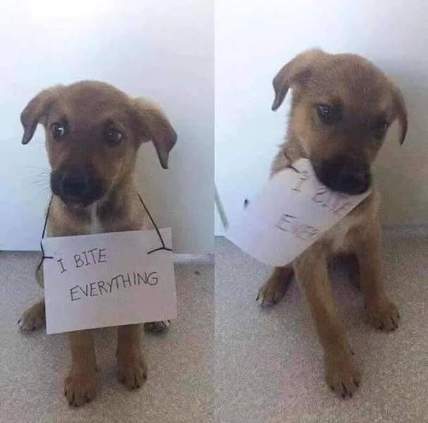 "funny pics of a puppy dog biting a sign that says ""I bite everything"""