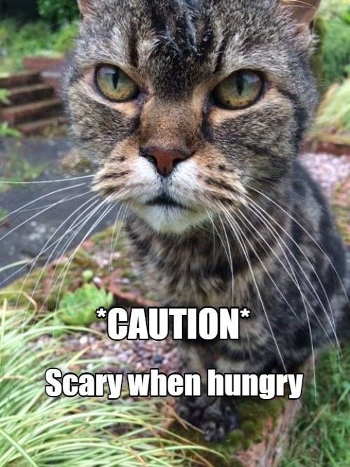 CAUTION scary when hungry | funny pic of a pissed off angry looking cat
