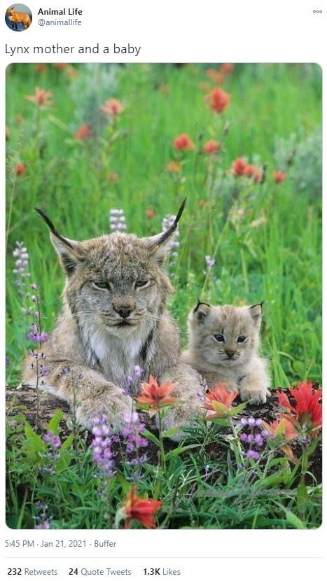 Plant - Animal Life @animallife Lynx mother and a baby 5:45 PM Jan 21, 2021 - Buffer 232 Retweets 24 Quote Tweets 1.3K Likes