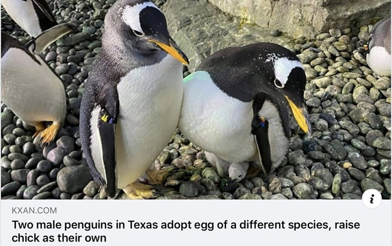 Bird - KXAN.COM Two male penguins in Texas adopt egg of a different species, raise chick as their own