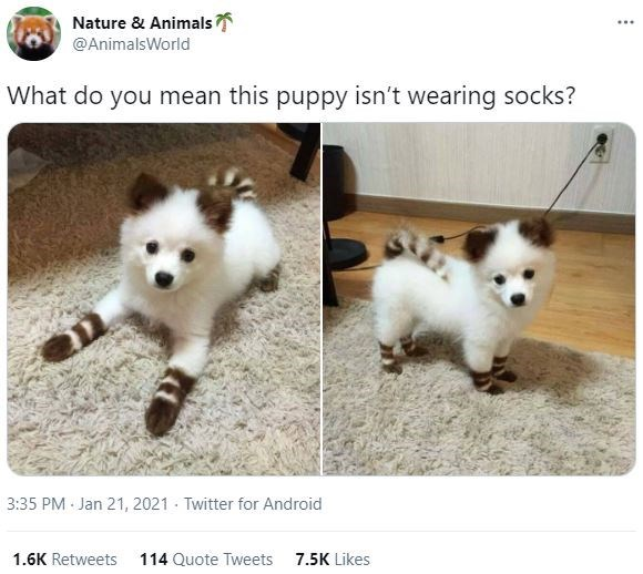 Dog - Nature & Animals ... @AnimalsWorld What do you mean this puppy isn't wearing socks? 3:35 PM Jan 21, 2021 - Twitter for Android 1.6K Retweets 114 Quote Tweets 7.5K Likes