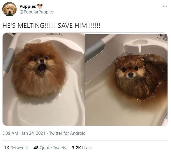 Brown - Puppies @PopularPuppies ... HE'S MELTING!!!!!! SAVE HIM!!!!!!! 5:39 AM - Jan 24, 2021 - Twitter for Android 1K Retweets 48 Quote Tweets 3.2K Likes