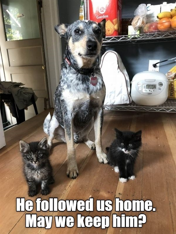 He followed us home. May we keep him? | cute and funny pic of a large dog sitting behind two small kittens