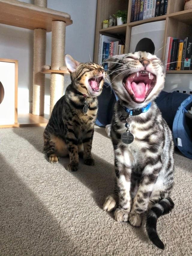 Cat - ARR AUSTRALIA SPA IGHTER FOR