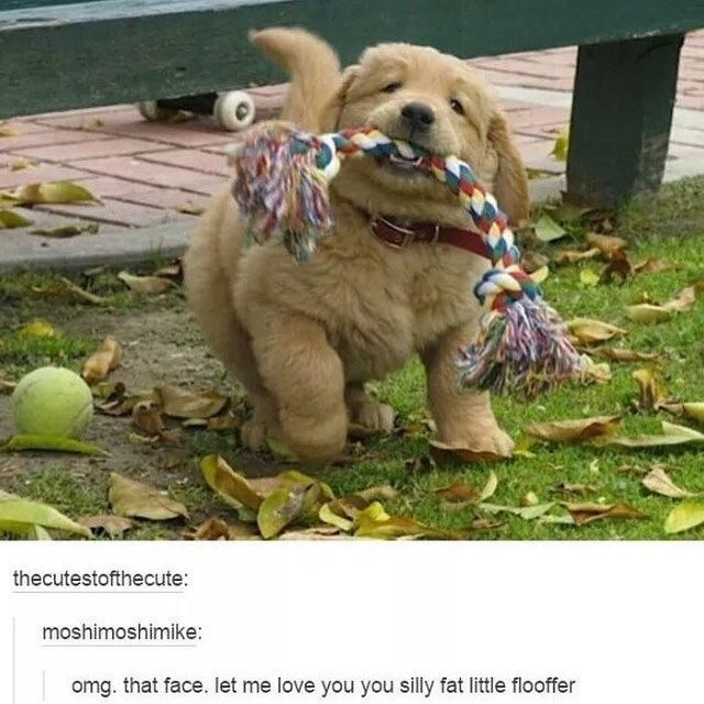 Dog - thecutestofthecute: moshimoshimike: omg. that face. let me love you you silly fat little flooffer