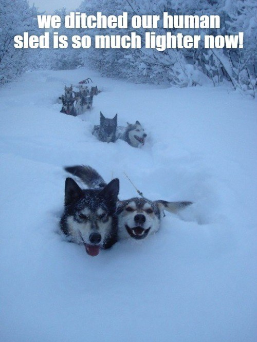 we ditched our human sled is so much lighter now! | pack of husky sled dogs in the snow