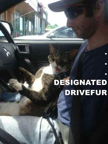 DESIGNATED DRIVEFUR | pun on designated driver funny pic of a cat sitting in a person's lap driving a car