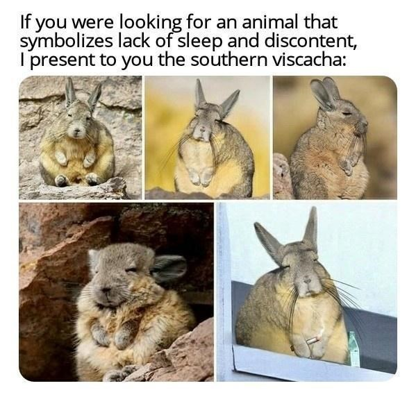 Vertebrate - If you were looking for an animal that symbolizes lack of sleep and discontent, I present to you the southern viscacha: