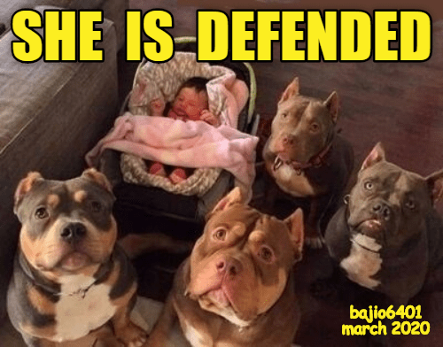 SHE IS DEFENDED | adorable pic of a baby in a carrier surrounded by four large pit bulls protecting her