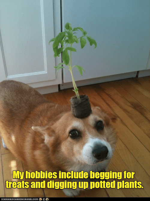 hobbies include begging for treats and digging up potted plants. | funny pic of a dog with a small plant balanced on its head