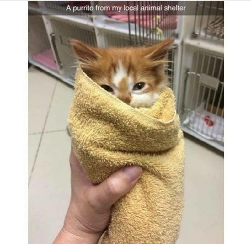Cat - A purrito from my local animal shelter