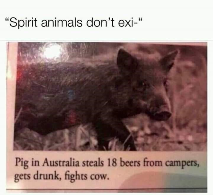 "Organism - ""Spirit animals don't exi-"" Pig in Australia steals 18 beers from campers, gets drunk, fights cow."