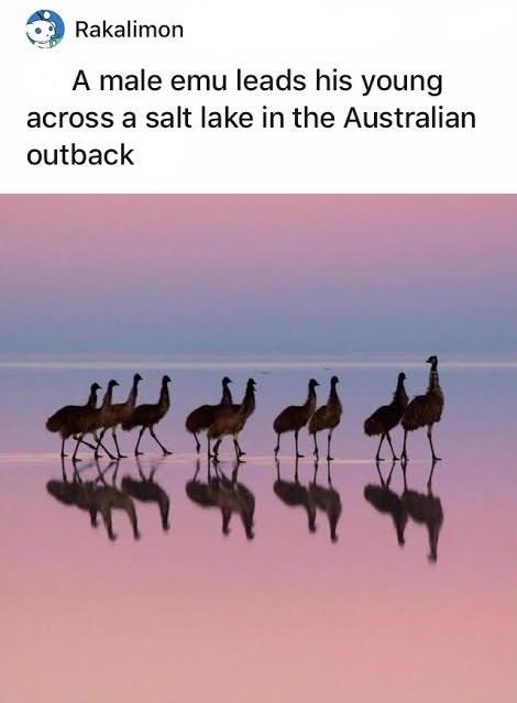 Sky - Rakalimon A male emu leads his young across a salt lake in the Australian outback %23 捷