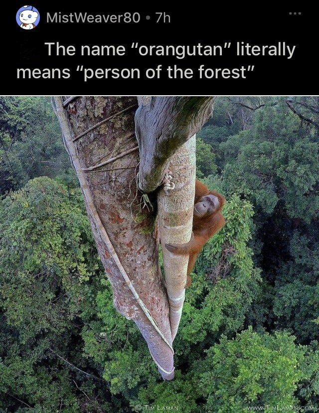 """Plant - MistWeaver80 • 7h The name """"orangutan"""" literally means """"person of the forest"""" TIM LAMAN www.TIMLAMANCO"""