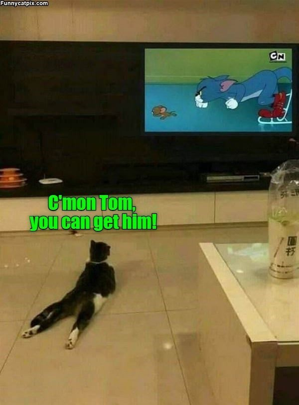 c'mon Tom you can get him | funny pic of a cat lying on its belly watching Tom and Jerry on TV