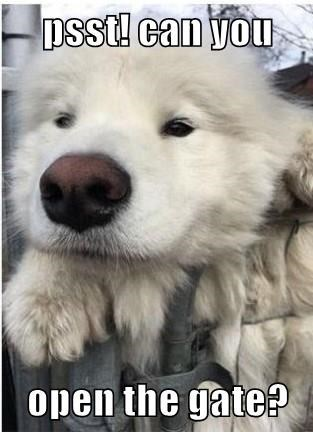 psst can you open the gate? | funny pic of a fluffy white dog pleading face