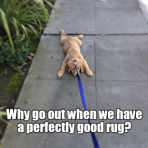 Why go out when we have a perfectly good rug? | funny pic of a puppy dog lying flat on the ground while tied to a leash