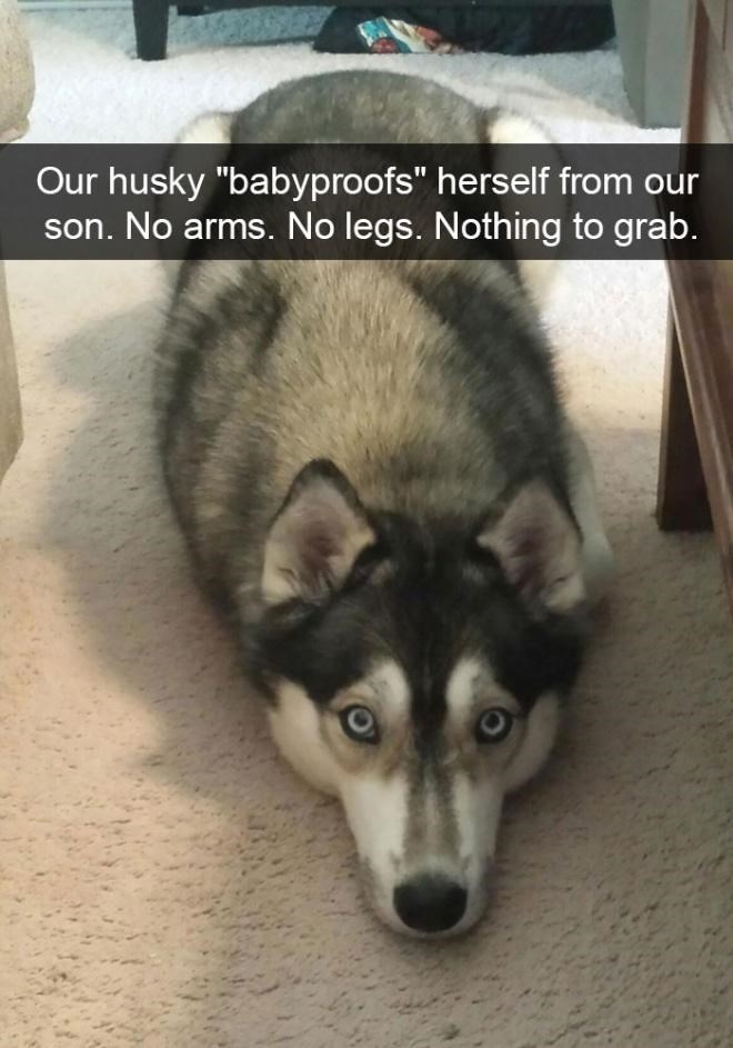 """Dog - Our husky """"babyproofs"""" herself from our son. No arms. No legs. Nothing to grab."""