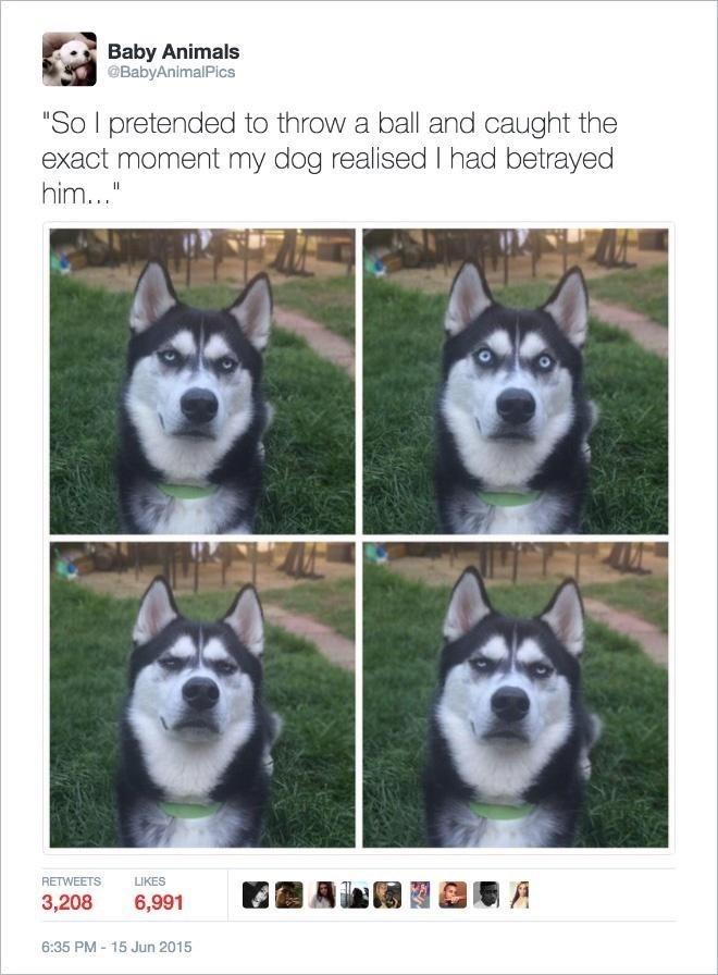 "Photograph - Baby Animals @BabyAnimalPics ""So I pretended to throw a ball and caught the exact moment my dog realised I had betrayed him..."" RETWEETS LIKES 3,208 6,991 周 6:35 PM - 15 Jun 2015"