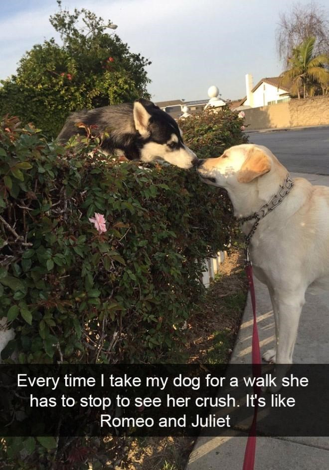 Dog - Every time I take my dog for a walk she has to stop to see her crush. It's like Romeo and Juliet