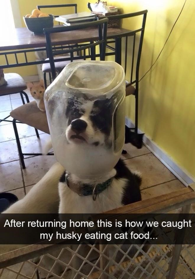 Dog - After returning home this is how we caught my husky eating cat food...